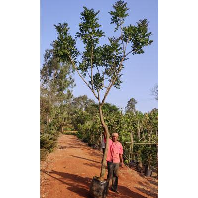 Nursary Plant
