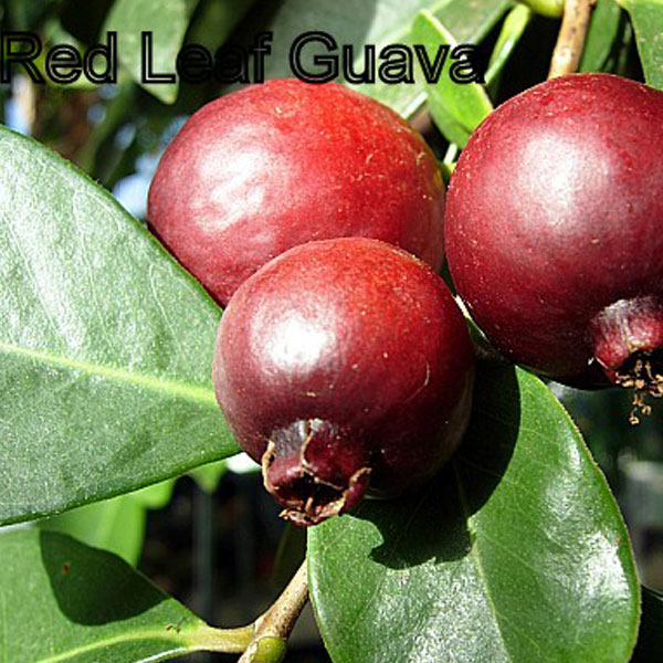 Red Leaf Guava